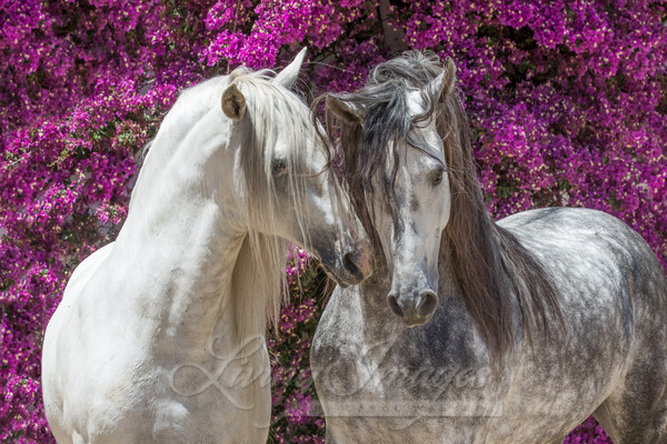 Two Andalusian Stallions In Front Of The Flowers Art | Living Images by Carol Walker, LLC