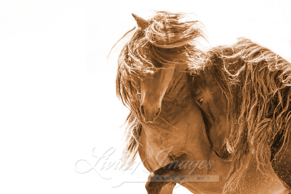 Two Sable Island Stallions Vi Sepia Ii Art | Living Images by Carol Walker, LLC