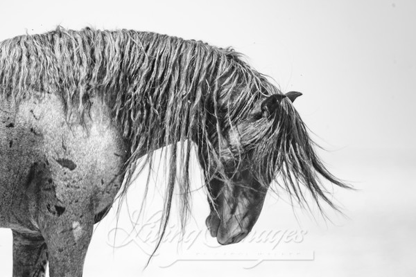 Wild And Free Mane Art | Living Images by Carol Walker, LLC
