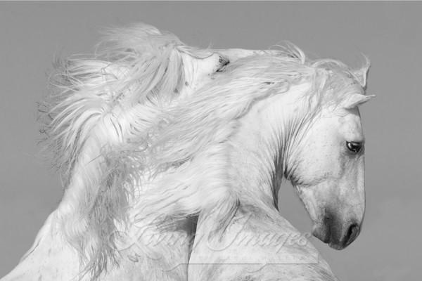 Two White Stallions Play  Art | Living Images by Carol Walker, LLC
