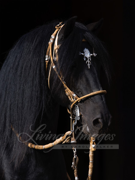 Black Peruvian Paso Stallion in traditional Peruvian bridle, Sante Fe, NM