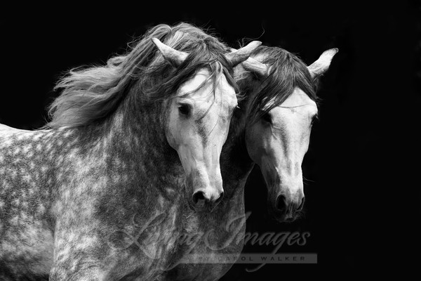 Two Dappled Brothers Art | Living Images by Carol Walker, LLC
