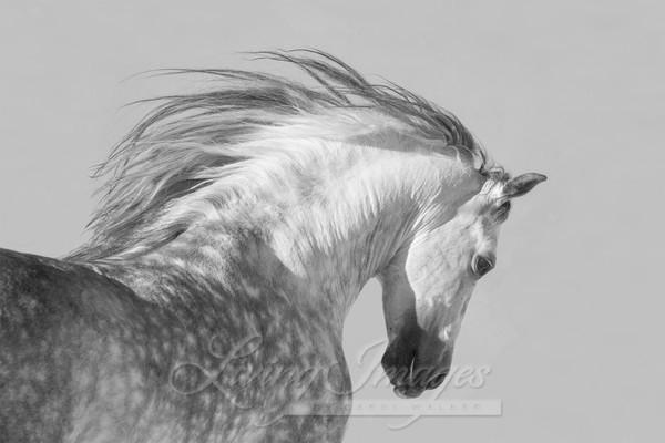 Spanish Stallion Tosses His Head Art | Living Images by Carol Walker, LLC
