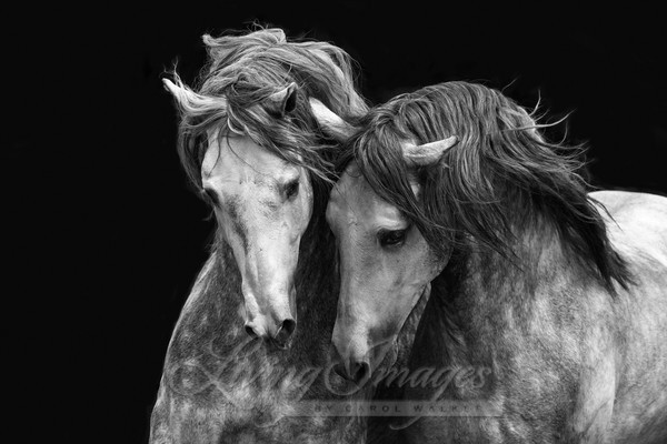 Two Andalusian Stallions Iii Art | Living Images by Carol Walker, LLC