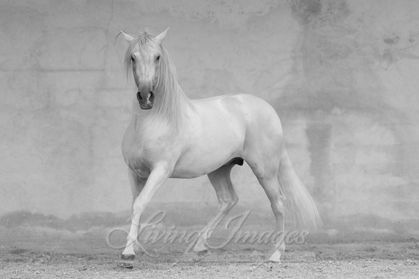 Classical Spanish Stallion Art | Living Images by Carol Walker, LLC