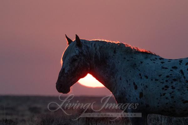 Appaloosa Sunrise Art | Living Images by Carol Walker, LLC