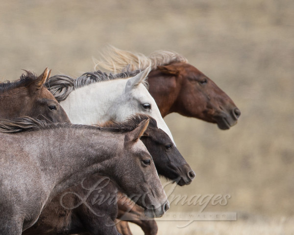 Wild Horse Family Head Study Art | Living Images by Carol Walker, LLC