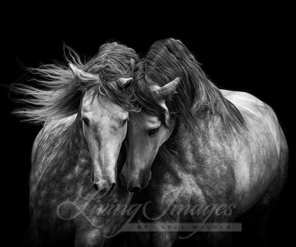 Two Andalusian Stallions Ii Art | Living Images by Carol Walker, LLC