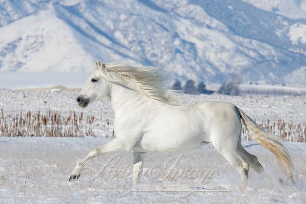 White Stallion Runs In The Snow Art   Living Images by Carol Walker, LLC