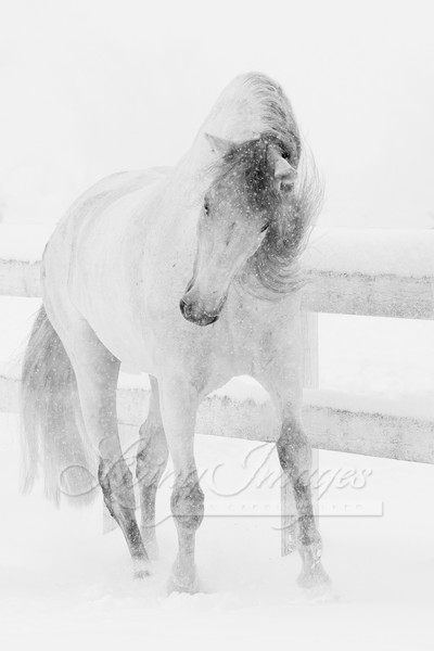 Snowy Mare Romps Art | Living Images by Carol Walker, LLC