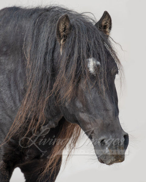 Sable Island Stallion Reaches Out Ii Art | Living Images by Carol Walker, LLC