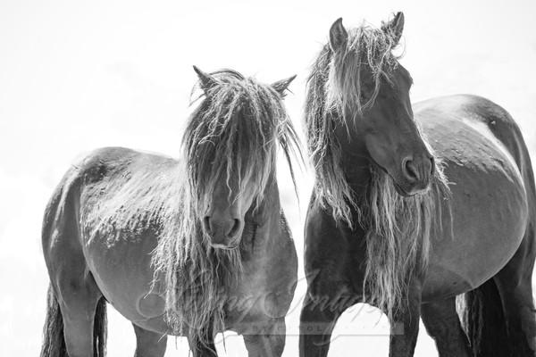 Two Sable Island Stallions Viii Art | Living Images by Carol Walker, LLC
