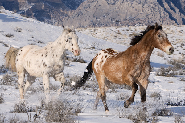 Flitner Ranch, Shell, WY, horses in winter, cowboy driving horses in snow