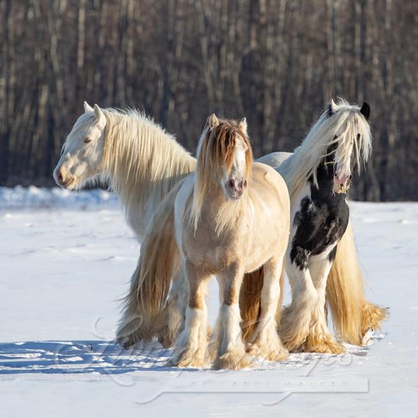 Three Gypsy Vanner Friends Art | Living Images by Carol Walker, LLC