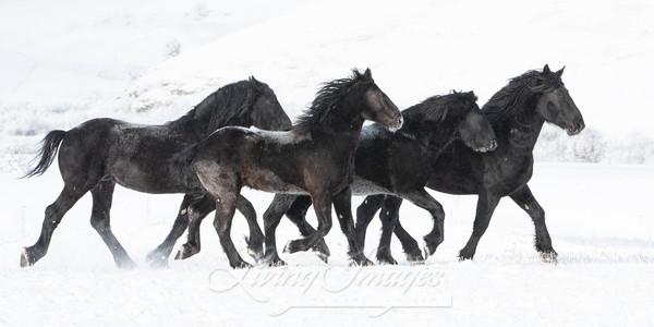 Four Black Percheron Stallions In The Snow Art | Living Images by Carol Walker, LLC