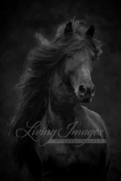 Black Friesian stallion in Ojai, CA