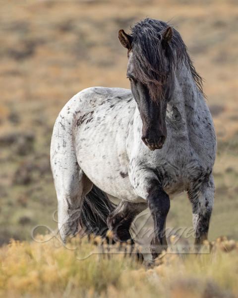Wild Blue Roan Stallion Azul Art   Living Images by Carol Walker, LLC