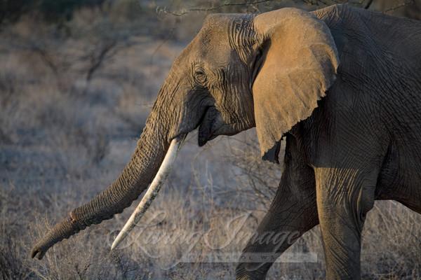 Elephant female, Samburu, Kenya