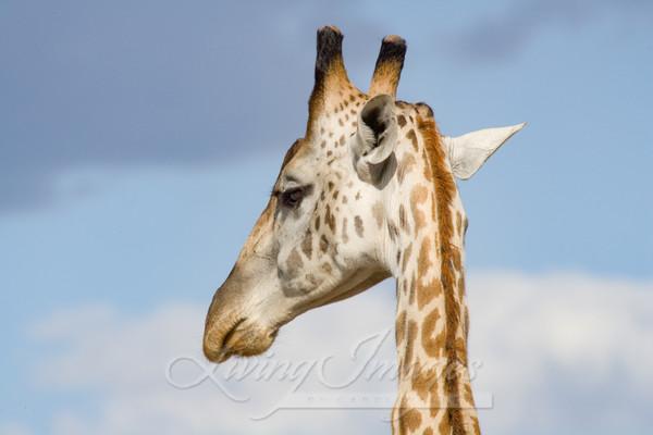 Rothschild's Giraffe, Masai Mara, Kenya