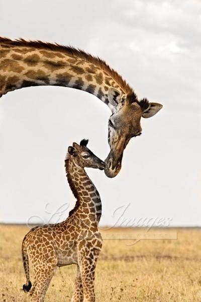 Rothschild's giraffes - female and newborn, Masai Mara, Kenya