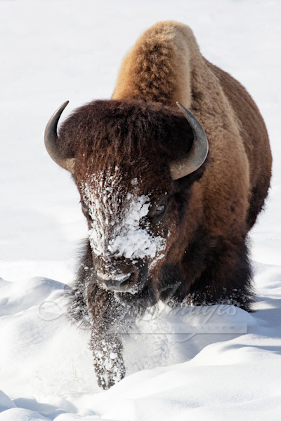 Winter Bison Walks Art   Living Images by Carol Walker, LLC