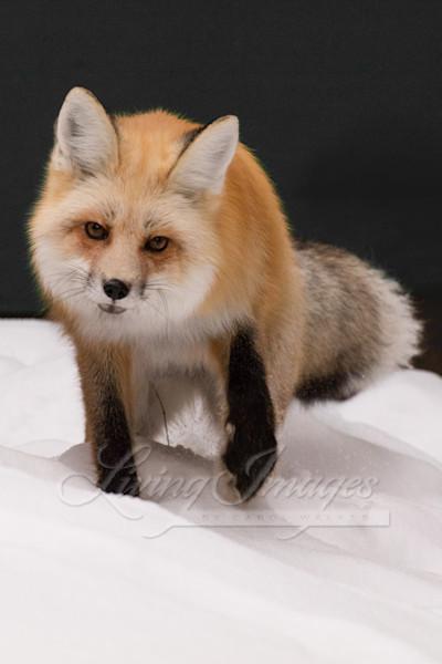 Red Fox Walks Art   Living Images by Carol Walker, LLC