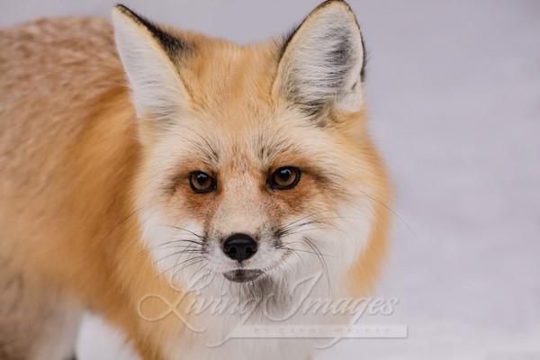 Winter Fox Comes Close Art   Living Images by Carol Walker, LLC