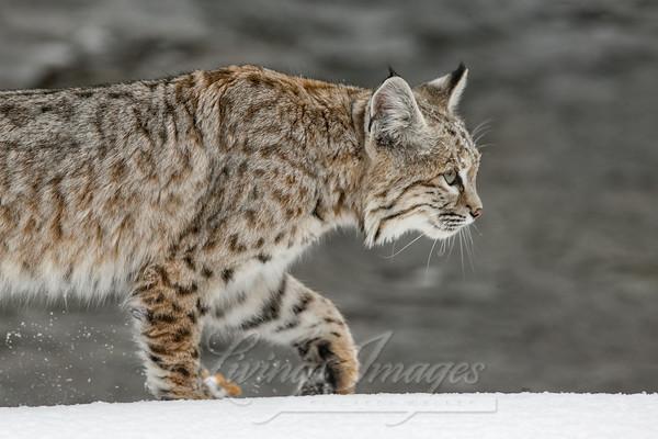 Bobcat Walks On The River Bank Art   Living Images by Carol Walker, LLC