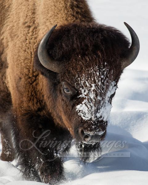 Winter Bison Walks Ii Art   Living Images by Carol Walker, LLC