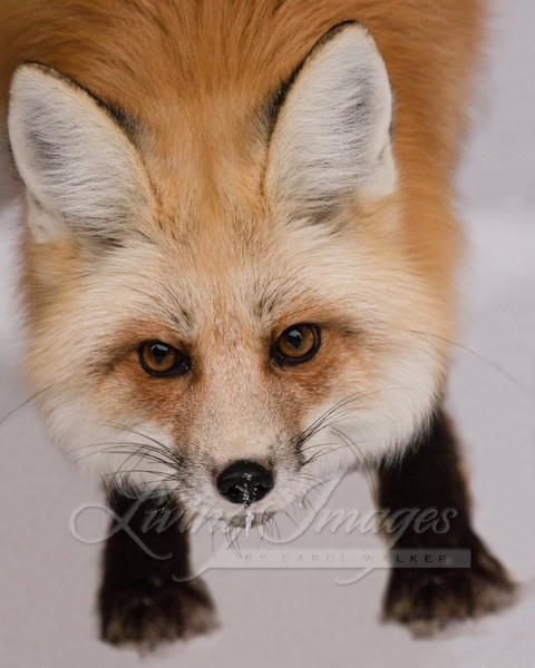 Red Fox Looks Up Art   Living Images by Carol Walker, LLC