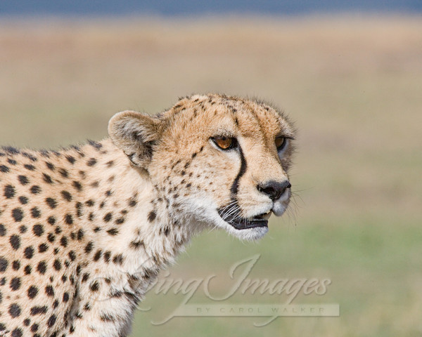 Cheetah Comes Close Art   Living Images by Carol Walker, LLC