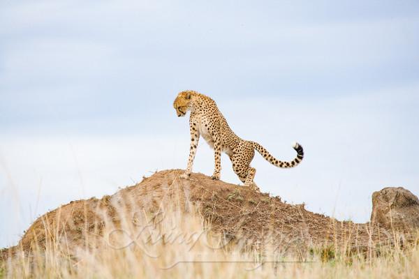 Cheetah Stretches Art   Living Images by Carol Walker, LLC