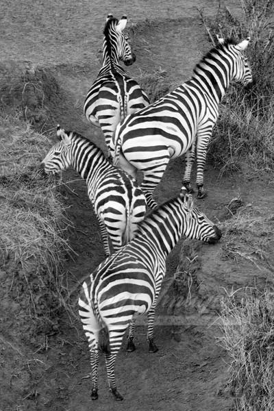 Zebra Pattern Art   Living Images by Carol Walker, LLC