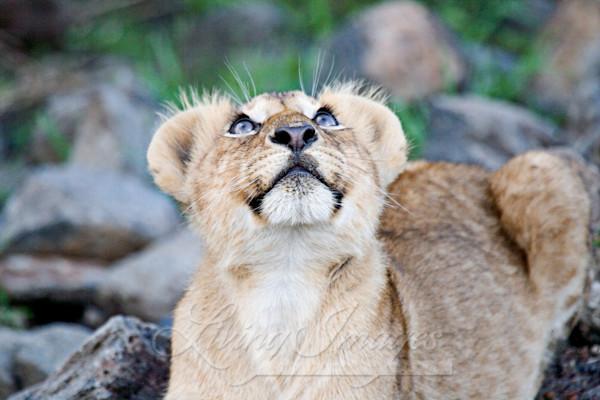 Lion Cub Looks Up Art   Living Images by Carol Walker, LLC