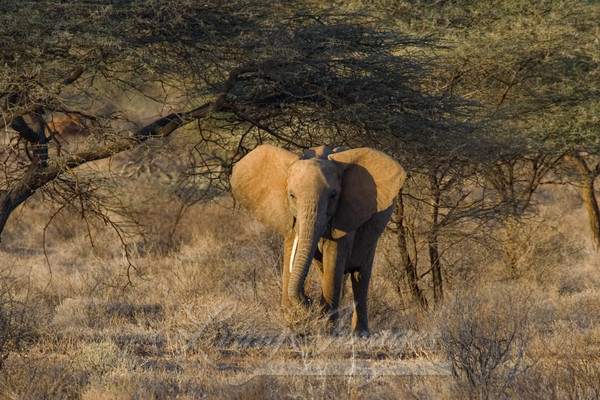 Elephant In The Acacias Art   Living Images by Carol Walker, LLC