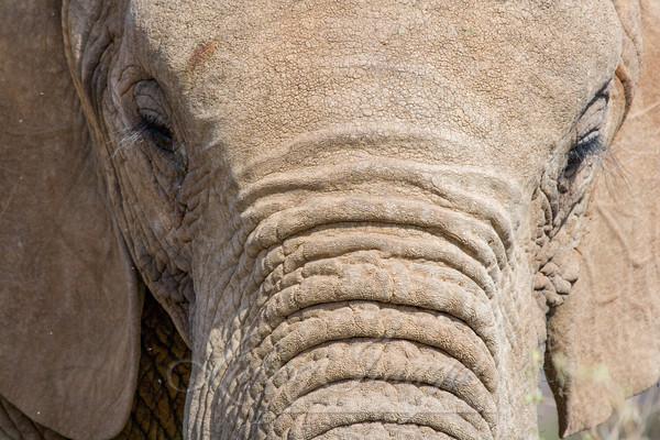 The Elephant's Face Art   Living Images by Carol Walker, LLC