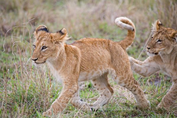 Lion Cubs Play Art   Living Images by Carol Walker, LLC
