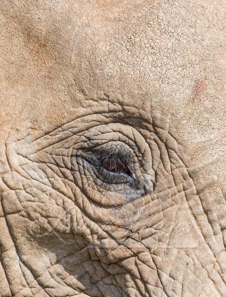 The Eye Of The Elephant Art   Living Images by Carol Walker, LLC