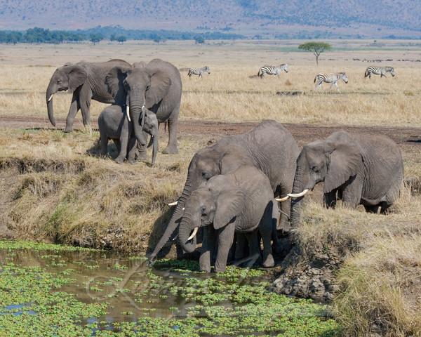 Elephant Family At The Waterhole Ii Art   Living Images by Carol Walker, LLC
