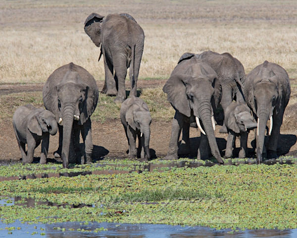 Elephant Family At The Waterhole Art   Living Images by Carol Walker, LLC