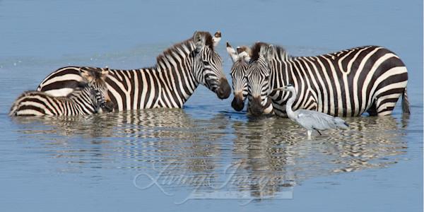 Zebra Family At The Waterhole Art   Living Images by Carol Walker, LLC
