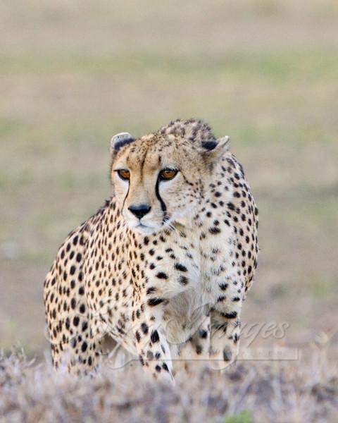 Cheetah At Attention Art   Living Images by Carol Walker, LLC