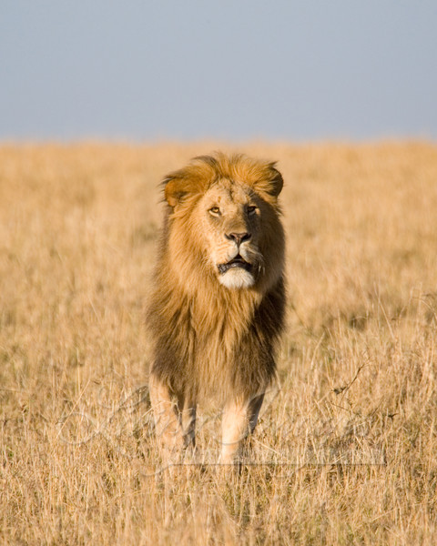 Lion Looks Up Art | Living Images by Carol Walker, LLC