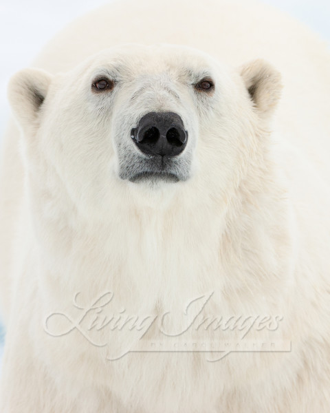 Polar Bear Close Up Art | Living Images by Carol Walker, LLC