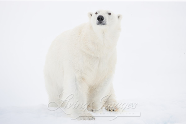 Polar Bear Looks Out Art | Living Images by Carol Walker, LLC