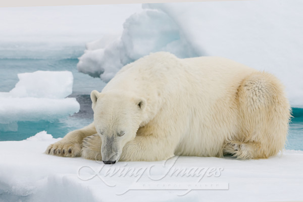 Polar Bear Sleeps Art | Living Images by Carol Walker, LLC