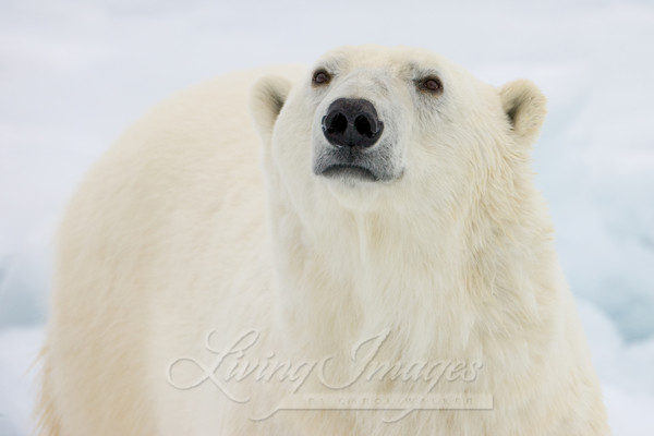 Polar Bear Looks Ii Art | Living Images by Carol Walker, LLC