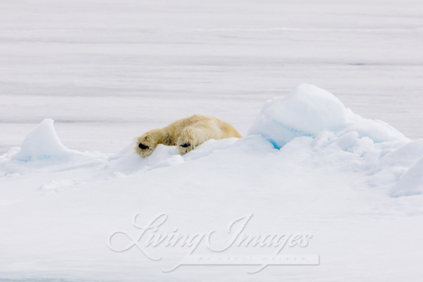 Polar Bear's Feet Art | Living Images by Carol Walker, LLC