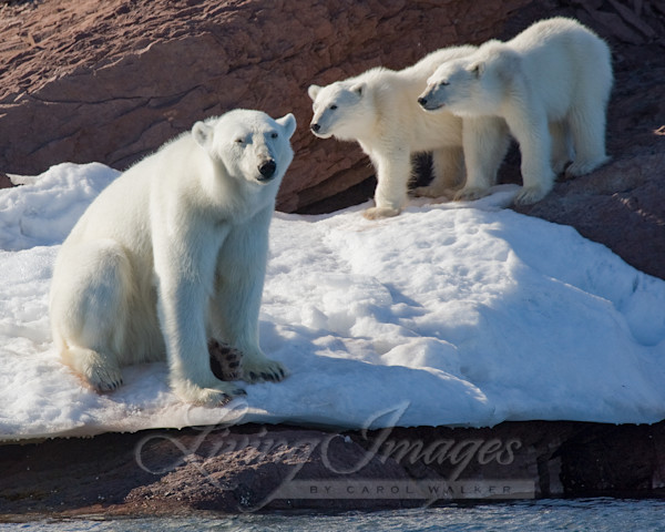 Polar Bear Mother And Cubs Art | Living Images by Carol Walker, LLC