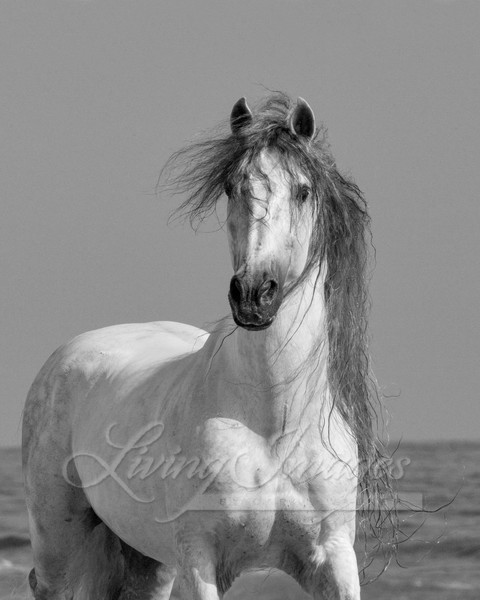 grey Andalusian stallion on he beach at Ojai, CA